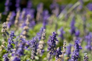Lavender is one of our all-time favorites. Graeme Weatherston photo.